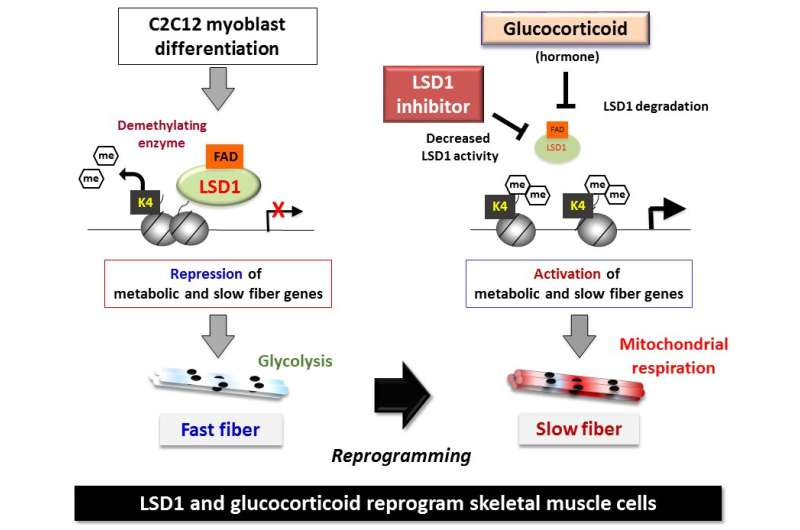 Enzyme LSD1 found to regulate muscle fiber type differentiation