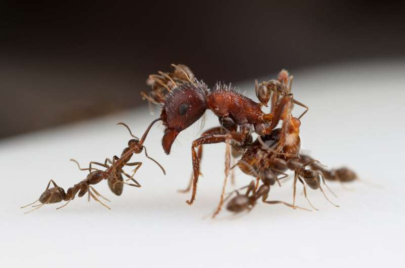 For global invasion, Argentine ants use chemical weapons