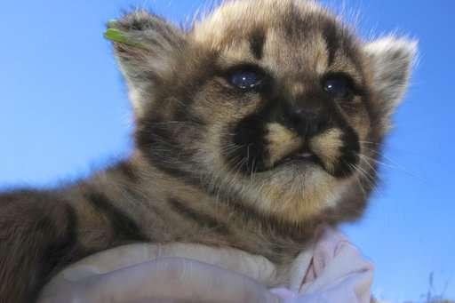 Four new mountain lions kittens found in California mountains