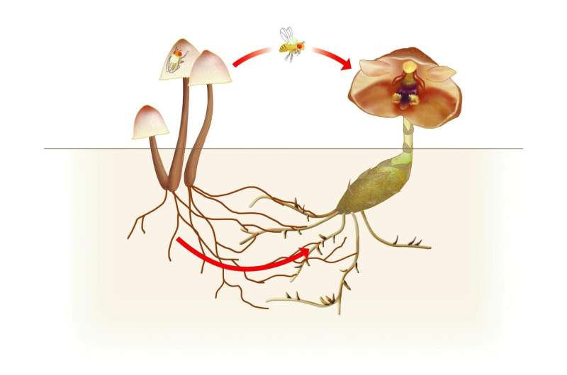 Freeloading orchid relies on mushrooms above and below ground