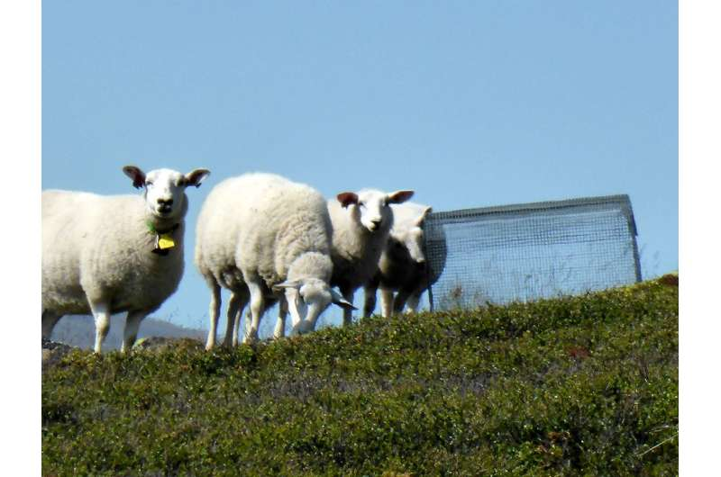 How sheep grazing affects the Norwegian mountains