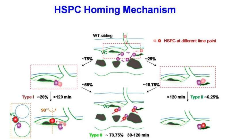 HSPC 'seeds' reveal VCAM-1+ macrophage role in homing process