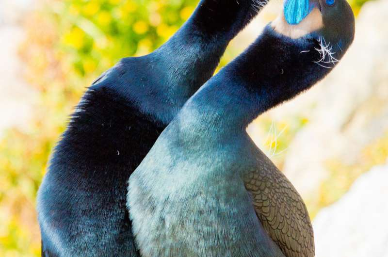 If El Niños happen twice as often in the future, what happens to seabirds?