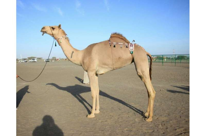 Inside the world of million-dollar beauty pageants – for camels