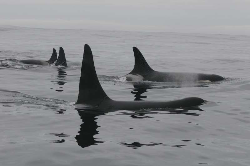 Killer whale genetics raise inbreeding questions