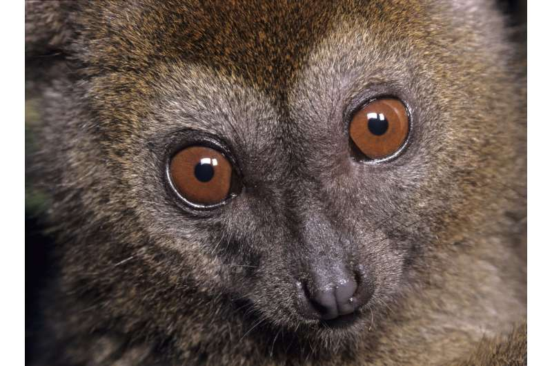 Mapping trees can help count endangered lemurs