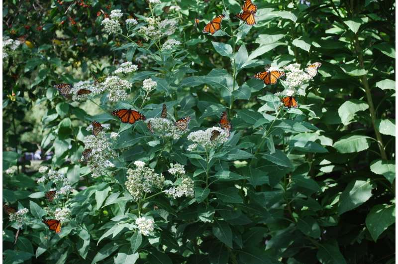 Migrating monarchs facing increased parasite risks
