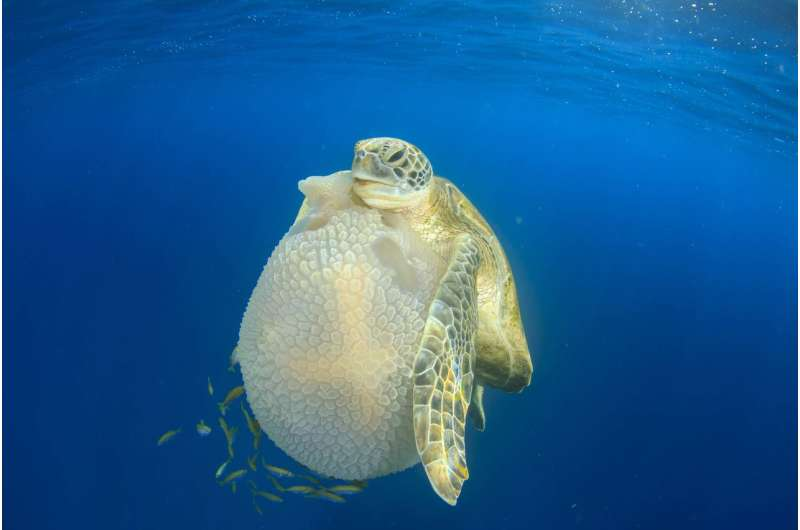 Monterey Bay Aquarium study finds sea turtles use flippers to manipulate food