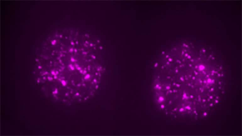 Not junk: 'Jumping gene' is critical for early embryo