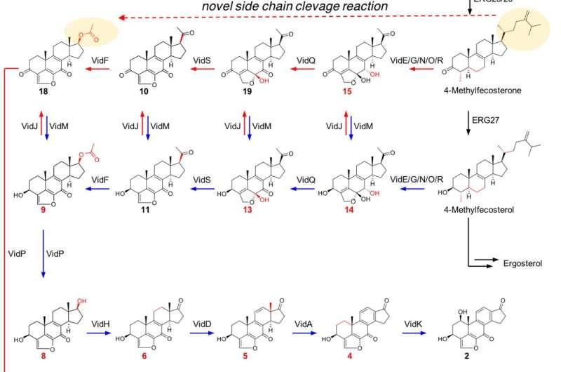 Novel bioactive steroid biosynthetic pathway in symbiotic fungi