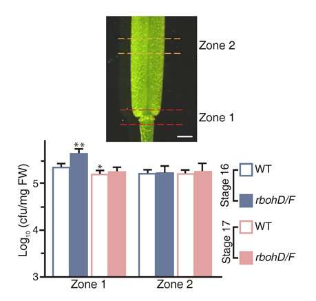 Plants get a brace to precisely shed flowers and leaves
