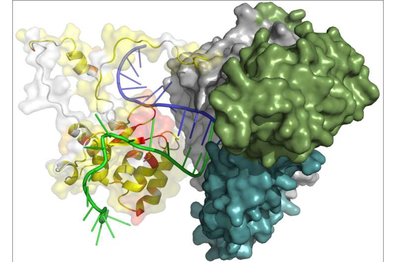 Scientists explored the structure of the key region of 'immortality and aging' enzyme