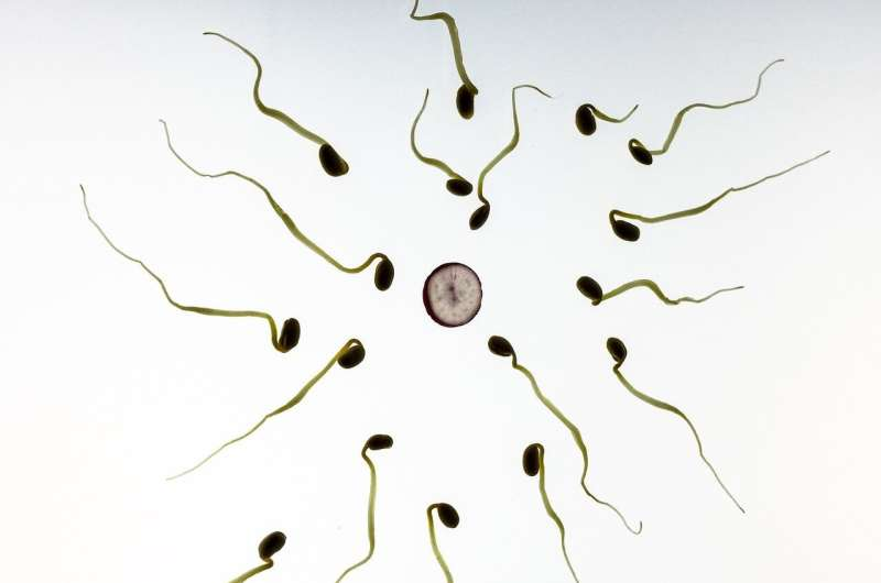 Natural compound exhibits almost ideal male contraceptive effects in pre-clinical studies thumbnail