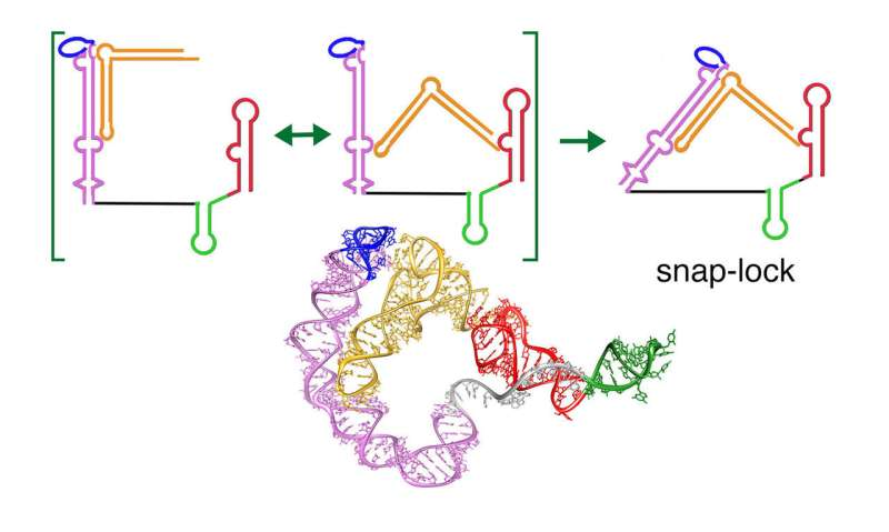 Study finds snap-lock mechanism in bacterial riboswitch