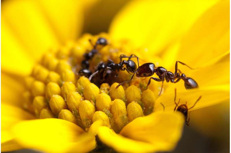 Study sheds new light on antibiotics produced by ants
