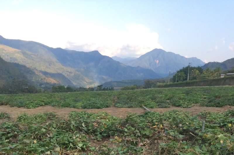 Sweet potato history casts doubt on early contact between Polynesia and the Americas
