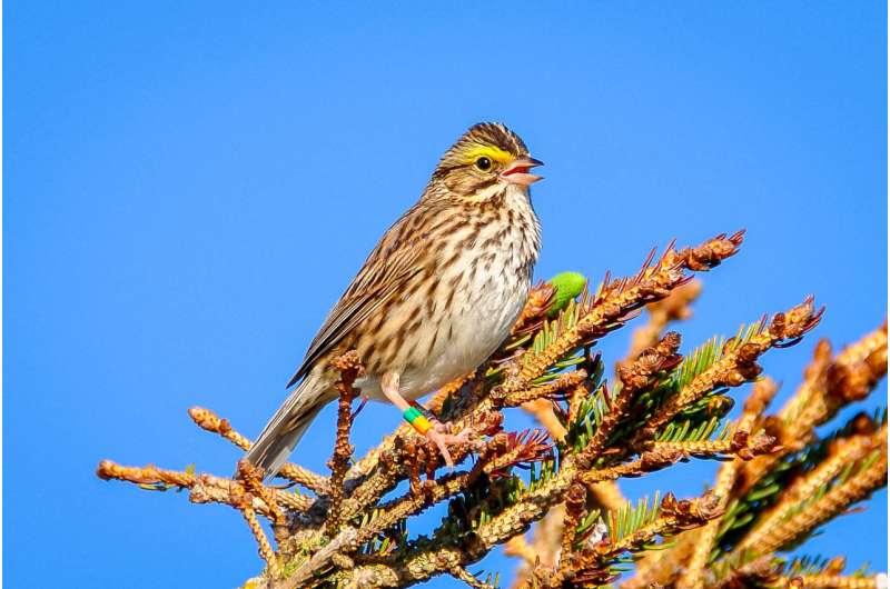 Teaching wild birds to sing a new tune