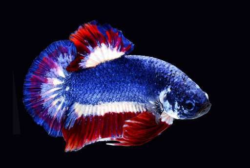 Thailand to honor beautiful, violent Siamese fighting fish