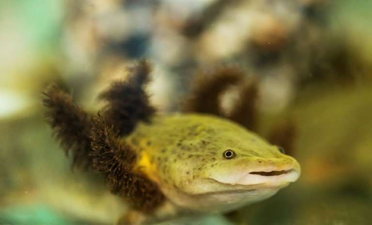 The endangered dark green Lake Patzcuaro salamanders are distinguished by a flowing mane of gills around their heads