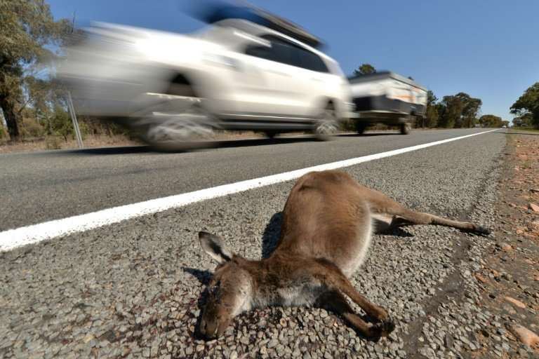 There has been a 20 percent jump in the number of road accidents involving wildlife in the past three years in Australia and con