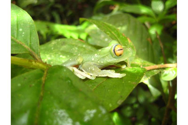 Tropical frogs found to coexist with deadly fungus