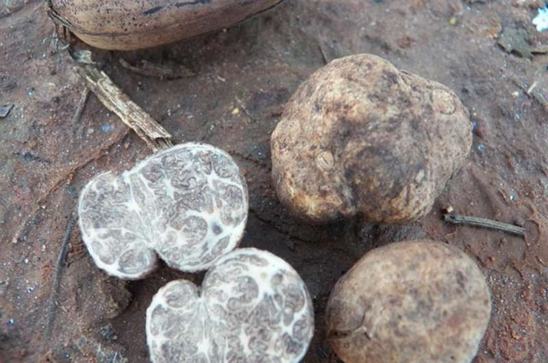 Two new truffle species discovered in Florida pecan orchards