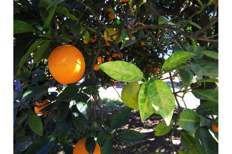 Researchers move toward understanding deadly citrus disease