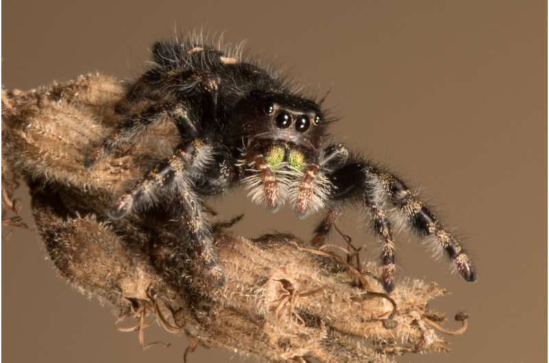 UMass Amherst research shows spider eyes work together to track stimuli