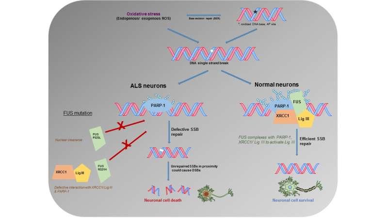 Neuroscientists find molecular clue in ALS, suggesting potential new drug target