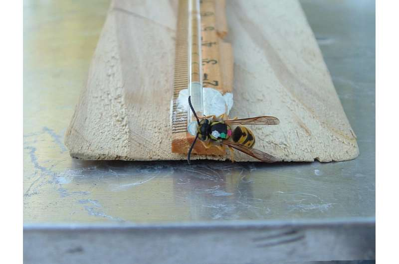 New research shows that wasps drum to alert one another of food nearby