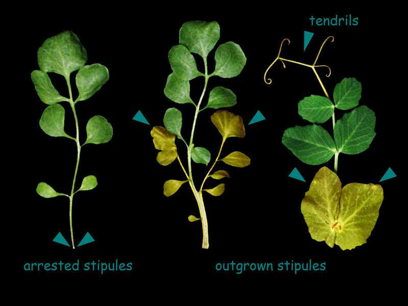 Scientists identify protein that controls leaf growth and shape