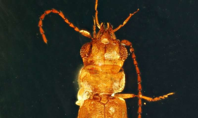 99-million-year-old beetle trapped in amber served as pollinator to evergreen cycads