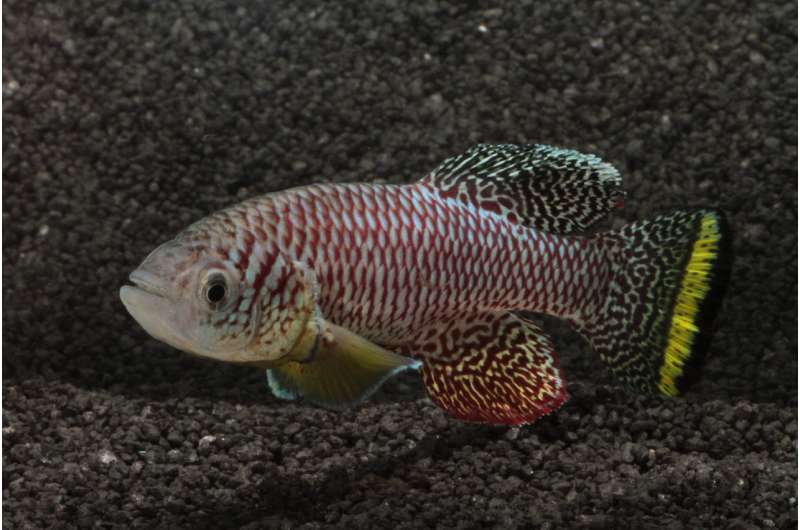 African killifish becomes fastest maturing vertebrate on record