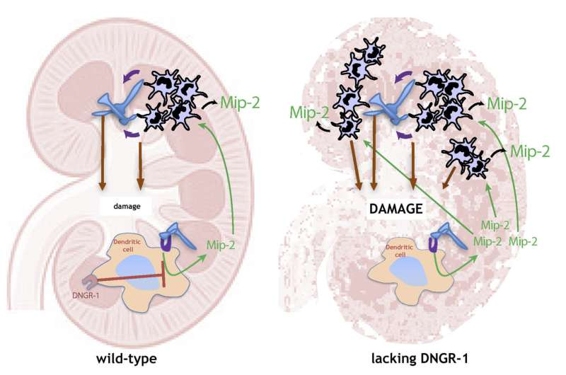 A new mechanism in the control of inflammation