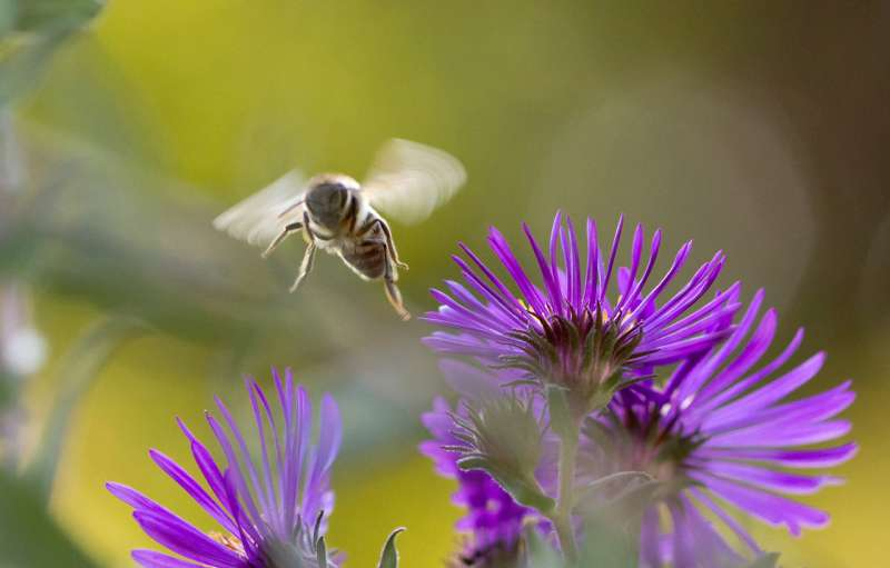 Common weed killer linked to bee deaths