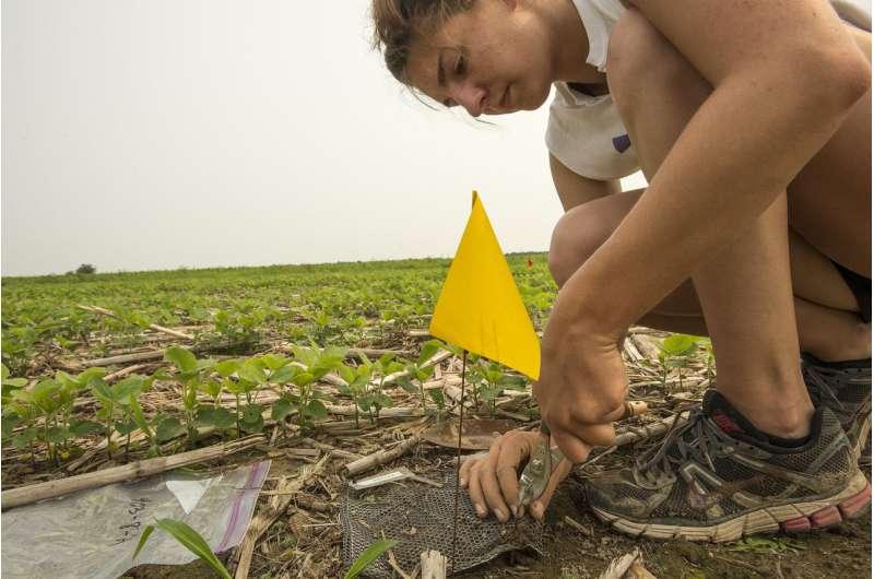 Cultivos de cobertura en el círculo de vida del nitrógeno