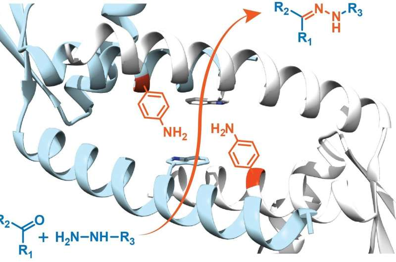 Designer enzyme uses unnatural amino acid for catalysis