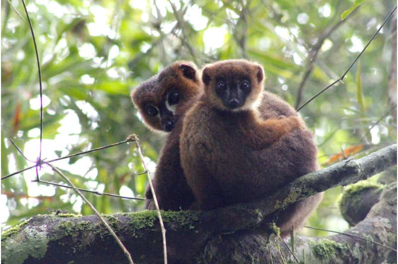 Elevated androgens don't hinder dads' parenting -- at least not in lemurs
