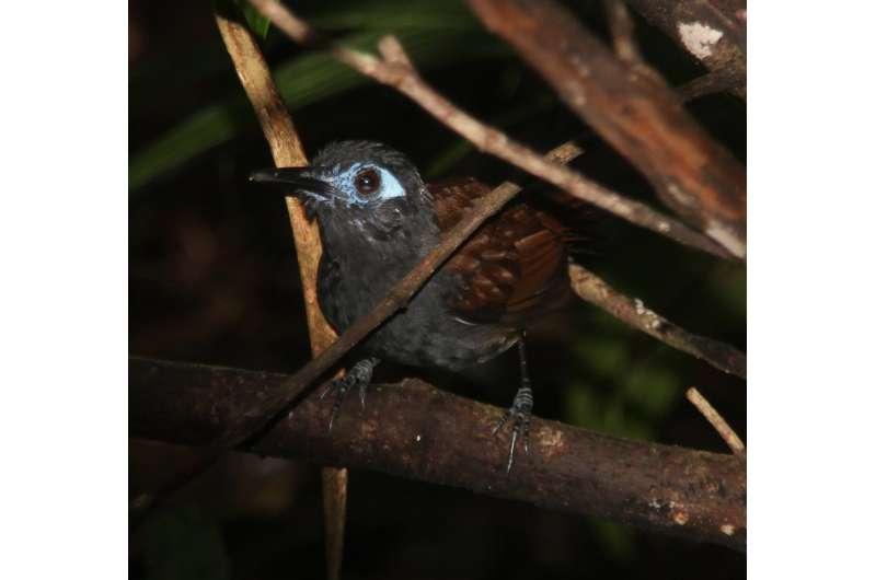 For tropical forest birds, old neighborhoods matter