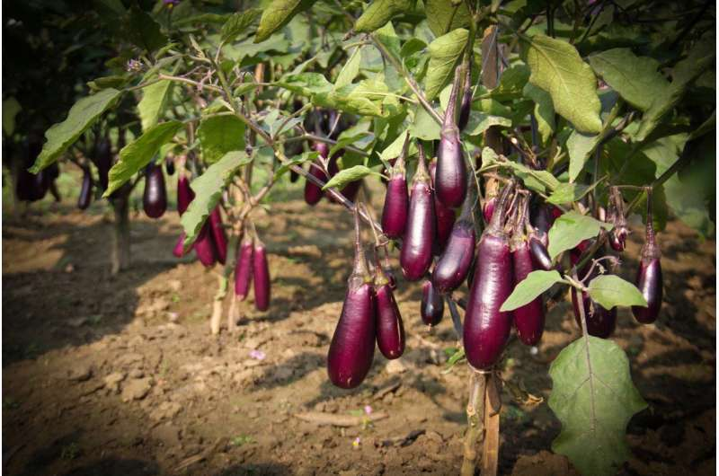 Genetically engineered eggplant improving lives in Bangladesh