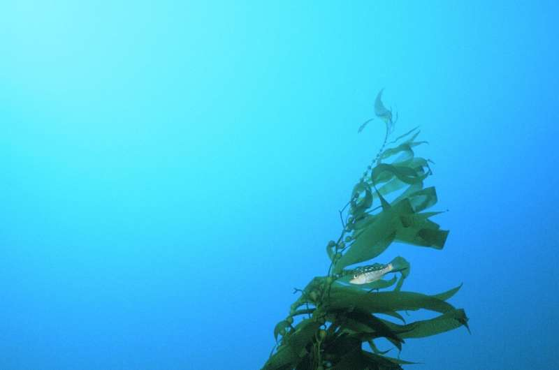 Giant kelp switches diet when key nutrient becomes scarce