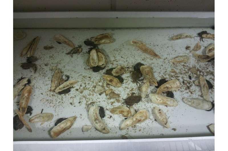 'Hide or get eaten,' urine chemicals tell mud crabs
