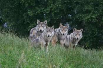 Large fenced reserves an effective way to bring wolves back to Scotland