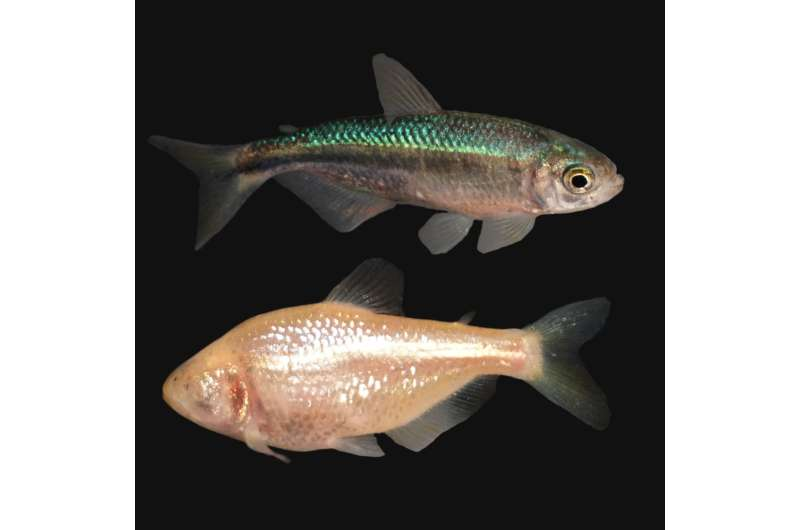 NIH researchers identify how eye loss occurs in blind cavefish