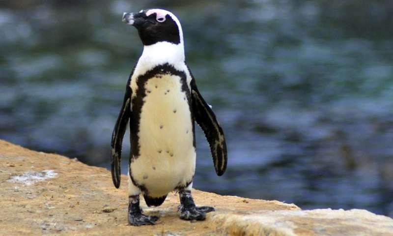 No-fishing zones help endangered penguins