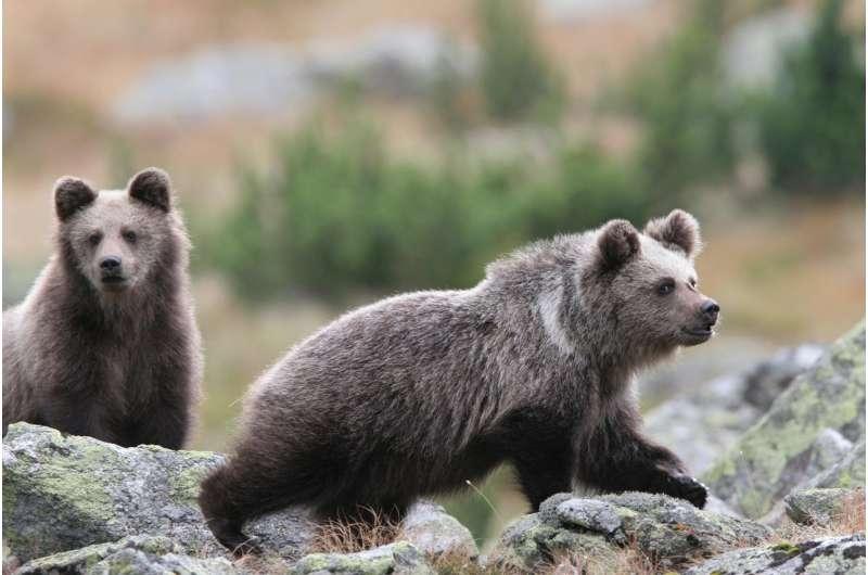 Plenty of habitat for bears in Europe