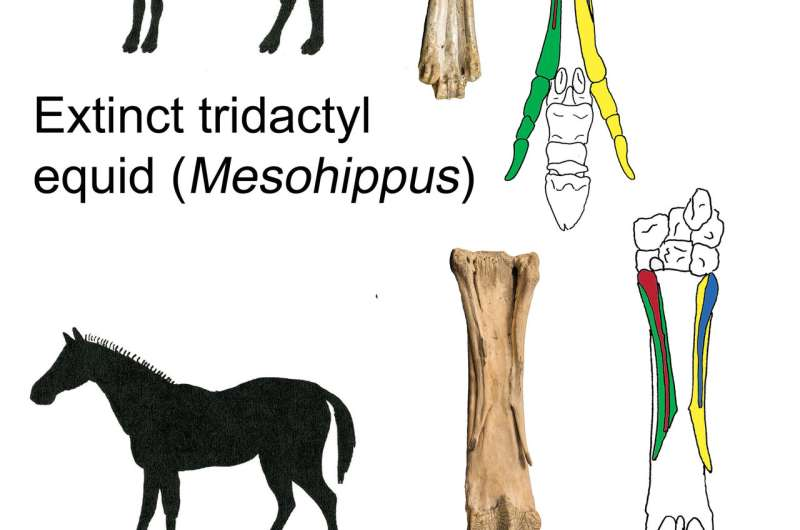 Researchers pose revolutionary theory on horse evolution