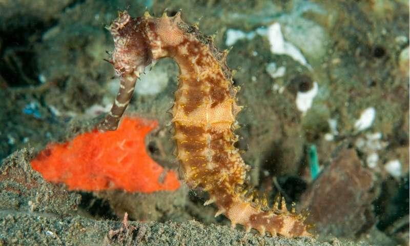 Super-rare giant sponge discovered in seahorse hotspot