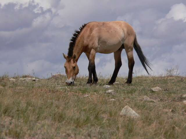Surprising new study redraws family tree of domesticated and 'wild' horses