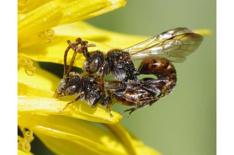 Towards untangling the 'antennal grabbing' phenomenon in mating cuckoo bees